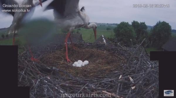 ポーランドのコウノトリ雛誕生