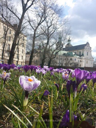 ポーランド観光クラクフのクロッカス3月