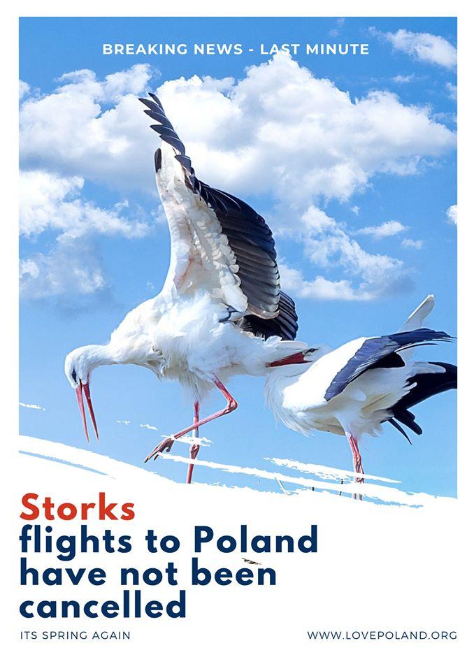 ポーランドのコウノトリ2020春