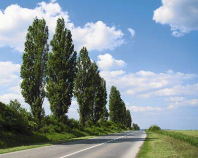 ポーランドの植物・木ポプラ