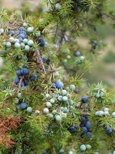 ポーランドの植物・木ビャクシン