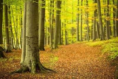 ポーランドの植物・木ブナ