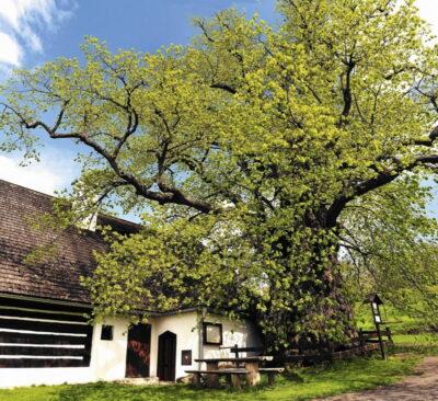 ポーランドの植物・木菩提樹