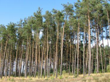 ポーランドの植物・木松