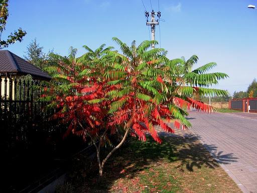 ニオイウルシ、ルスティファナポーランドの秋の木紅葉